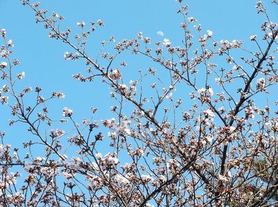 桜3 01101.jpg